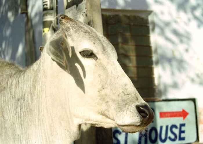 Warum Sind Kühe Heilig